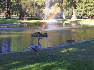 geese in william land park