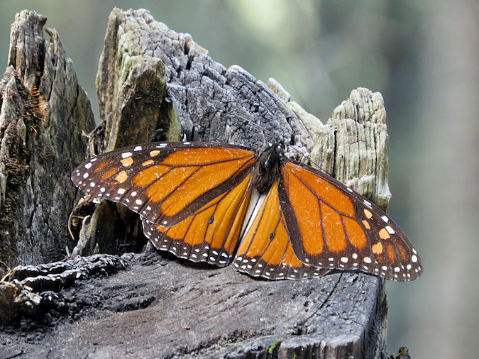 photos butterflies in mexico the monarch butterfly sanctuaries