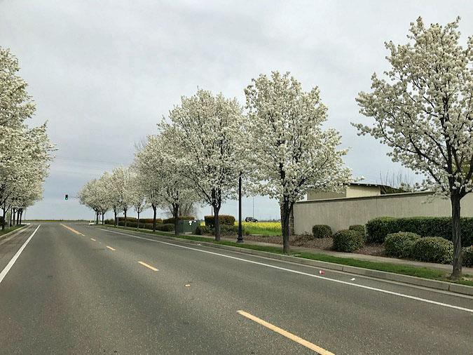 Sacramento spring showcases white flowering callery pear trees callery pear trees mightylinksfo