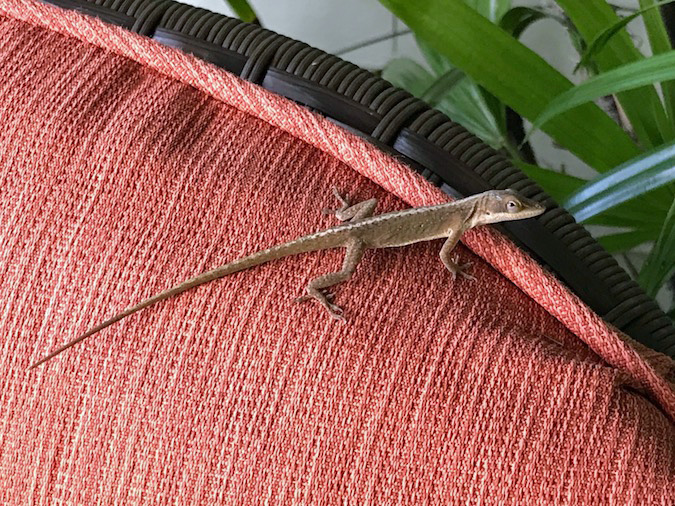 Photos of Hawaii Lizards and Geckos from Kailua-Kona