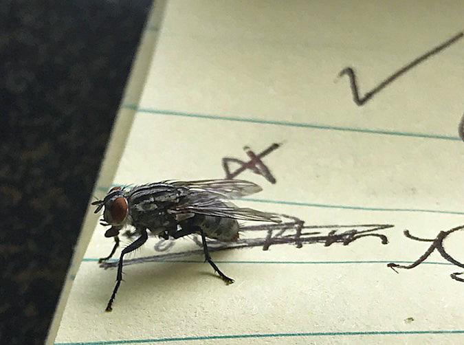 Hawaii Flesh Fly
