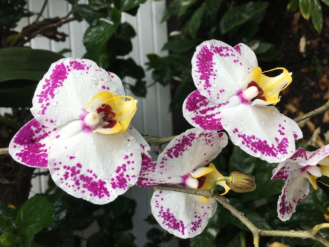 Hawaii Orchids